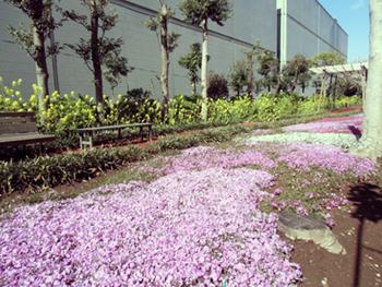 ホワイト市川の園庭に芝桜